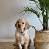 Dog Walker Wanted For Golden Retriver Pup Dog Walker Job Pet Sitter Job In Winnipeg Mb Petsitter Com