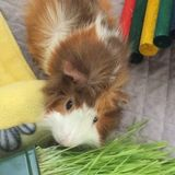 Guinea Pig Lover and Owner