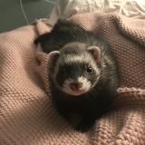 Who wants to take care of my silly little ferret for a weekend?