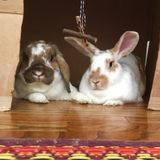 Looking for someone to stop by and feed three, adorable rabbits