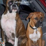 Dog Walker And Occasional Pet Sitter.... References Requires for 2 wonderful Boxer Boys