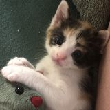 Wanted: Kitten Care for Bottle-Fed 4-week Orphan