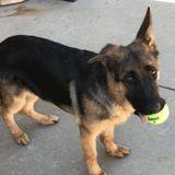 Petsitter Opportunity for GSD Puppy in Malibu