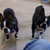 Need A Dog Sitter For Two Boston Terriers