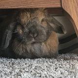 Opportunity for Chicago, Illinois Rabbit sitter
