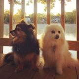 Two pomeranians need a friend while their mom is away!