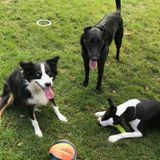 Sitter wanted for three lovable dogs.