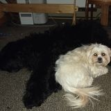 Buddy a rescue and Lincoln a rare Black Russian Terrier are part of my family