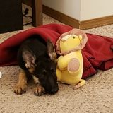 One night pet sitter for adorable GSD pup with opportunity for consistent position
