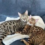 Looking for someone I trust to watch my two Bengals Boys (bagel and finnick)