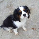 Teacher in Evanston and live in Lincoln Park. Need weekday dog walker for Cav puppy.