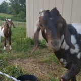 Needed: Sitter for goats and chickens