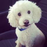 Looking for someone to love on a senior poodle mix