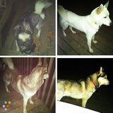 Dog walker for 4 huskies