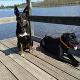 Sitter Needed for 2 Dogs