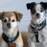 Looking for a dependable in-home, overnight dog sitter with reliable availability for 2 small dogs in downtown Frederick