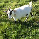 Looking for an assistant goat milker in Fayetteville, TN