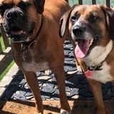 Dog nanny for 2 loveable rescue dogs, boxer and beagle mix.