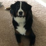 Dog Walker Job, Pet Sitter Job in Easley