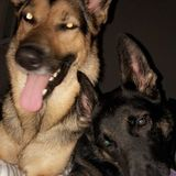 Looking for an in home sitter for the holidays for my two German Shepherd and cat