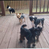 4 Small Doggies Need A Sitter