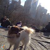 Dog Walker Job in Manhattan