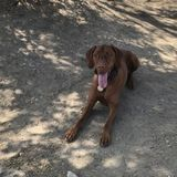 Boarding/House-sitting for 3 years old Vizsla