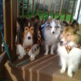 I Have Rescued And Nursed Back To Health Shelties For 20 Years. I Have 3 Rescue Shelties Of My Own