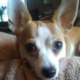 In need of a caring, gentle, loving and trustworthy pet sitter for my Chihuahua Hope Fox.