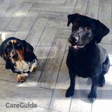 Basset Hound and Labrador - Walking & Feeding Plus Overnight Sitting