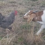 Needed: Weekend Caretaker for farm animals