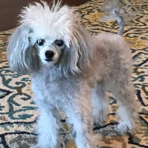 Overnight sitter needed for my two, small dogs in Richardson.
