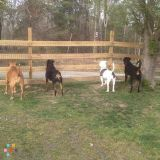 Four big but lovable dogs need occasional pet sitting in Fredericksburg