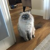 Seeking Persian Care for Valentino the Cat!