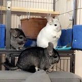 Looking for sitter for 3 chinchillas Dec 22-28, every other day feeding