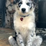 Smart, affectionate blue Merle Aussie puppy!Kihei Animal Lover Opportunity