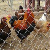 Frederick Chicken Sitter Wanted!