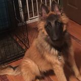 Day and evening care for a 8-month-old Belgian Tervuren