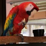 Hello! Looking for a bird lover to watch and possibly groom my Macaw when Im out of town.