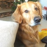 Seasoned pet sitter needed for gentle golden retriever