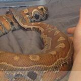 Snake Sitting For $