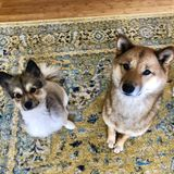 2 Adorable Pups Looking For A Loving And Reliable Dog Sitter/Walker.