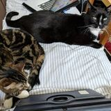 Easygoing & low maintenance cats needing once a day fussing over.