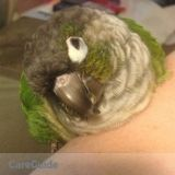 Green-cheek Conure, 2 dogs need care 6/15-18
