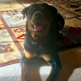 In need of sitter for our 1 1/2 year old rott fur baby