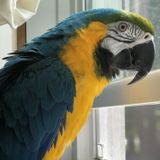 Babysitter needed for two blue and gold Macaws. Must have experience with large parrots.