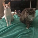 Looking for a Pet Sitter for 2 Cats in Vero Beach