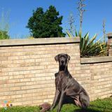 Loving Great Dane needs a reliable and loving dog walker!