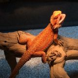 Aurora, Must have reptile experience