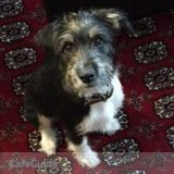 4 month old terrier mix seeking comfy floor with grassy yard for Thursday workdays in Somerville/Cambridge MA